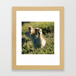 Goslings On The March | Bird | Babies | Canada Goose Framed Art Print