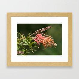 Native Grevillea Framed Art Print