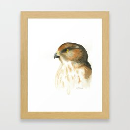 juvenile red-tailed hawk Framed Art Print
