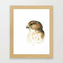 juvenile red-tailed hawk Framed Art Print
