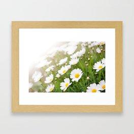 White chamomiles herb flowering plant Framed Art Print