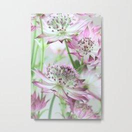 Pastel Pink Astrantia Flowers Metal Print