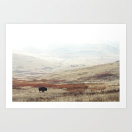 Lone Bison on National Bison Range in Montana Art Print