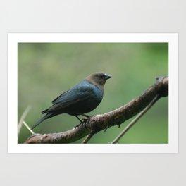Brown Headed Cowbird, Male Art Print