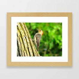 Red-bellied Woodpecker 1 Framed Art Print