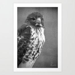 Red-tailed Hawk III BW Art Print