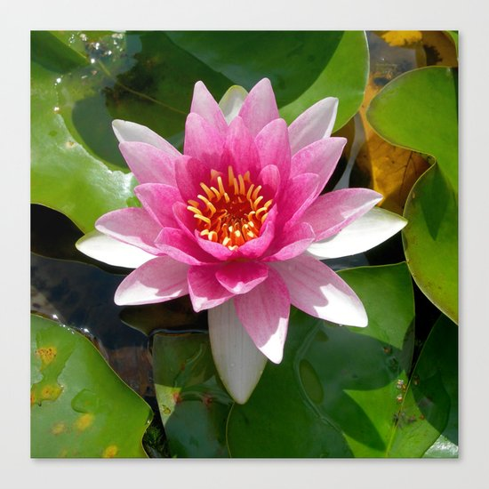 water lily VI Canvas Print