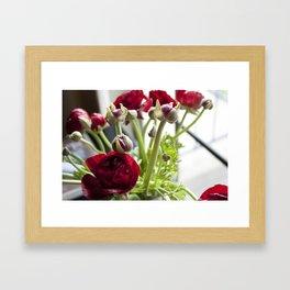 Ranunculus Red  Framed Art Print