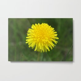 Yellow Dandilion Metal Print