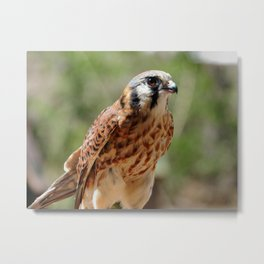 American Kestrel Falcon Bird Wildlife Photograph Metal Print