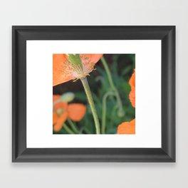 Orange Poppy Framed Art Print