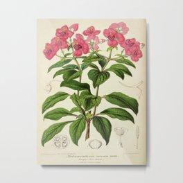 Heterocentron Roseum Vintage Botanical Floral Flower Plant Scientific Metal Print