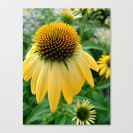 Yellow Echinacea/Coneflower Canvas Print