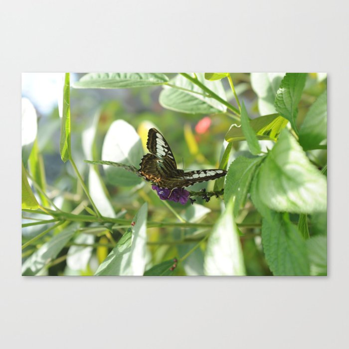 Blue Clipper Butterfly 2 Canvas Print
