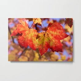 Autumn in Canada - Maple leafs Metal Print