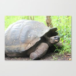 Turtley Turtle (Lonesome George) Canvas Print