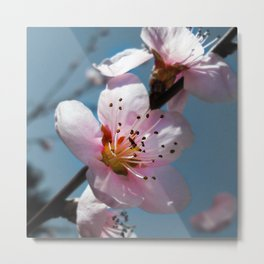 Peach Blossom Blue Sky Metal Print