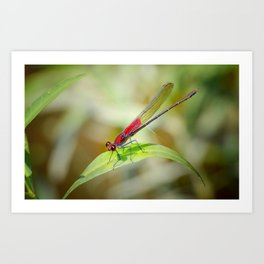 Red Damselfly Dragonfly Art Print