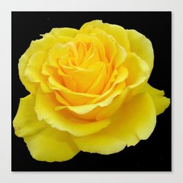 Beautiful Yellow Rose Flower on Black Background Canvas Print