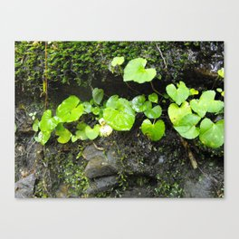 Lilly pads on a rock Canvas Print