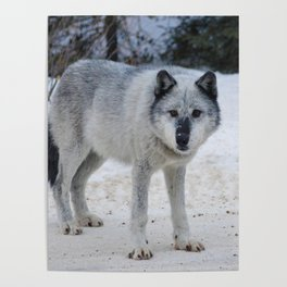 Lone wolf of the Canadian Rocky Mountains Poster