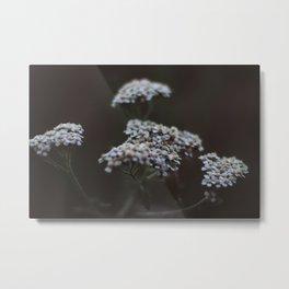 Achillea millefolium - Yarrow Metal Print