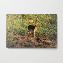 Masai Mara Dikdik Deer Metal Print