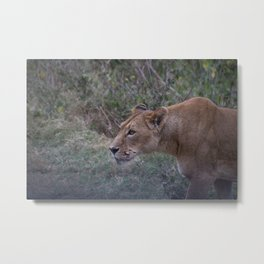 Prowling Lioness Metal Print