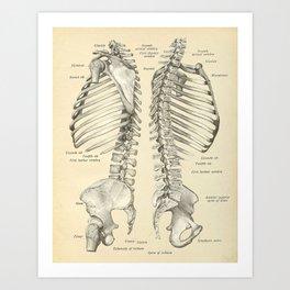 Vintage Human Spine Anatomy Print Art Print