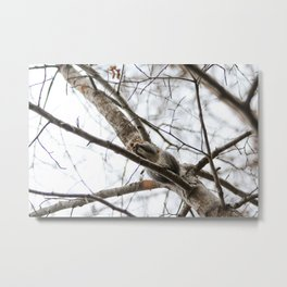 Squirrel eating on a tree Metal Print