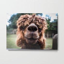 Curious Llama Metal Print
