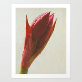 Amaryllis in Bloom Art Print