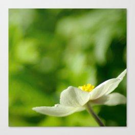 White Anemone Canvas Print
