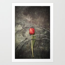 Tulip and barbed wire Art Print