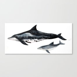 Rough-toothed dolphin (Steno bredanensis) Canvas Print
