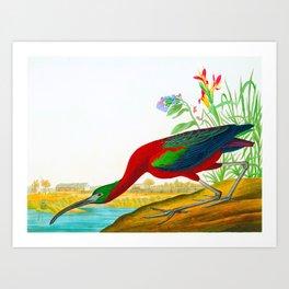 Glossy Ibis John James Audubon Scientific Illustration Birds Of America Drawings Art Print