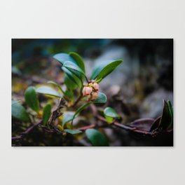 Bearberry Flower Canvas Print