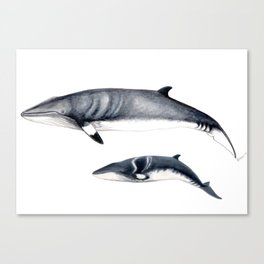 Minke whale with baby whale Canvas Print