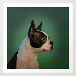 Boston Terrier dog Art Print