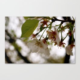 Pink in Spring Canvas Print