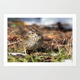 Staredown with a Lincoln's Sparrow Art Print