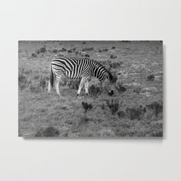 Zebra grazing on African savanna Metal Print