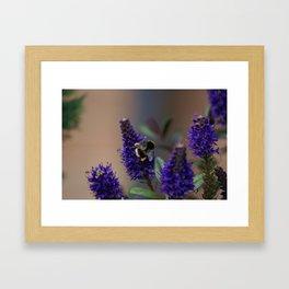 Bee Lavender - Bumble Bee in Garden Framed Art Print
