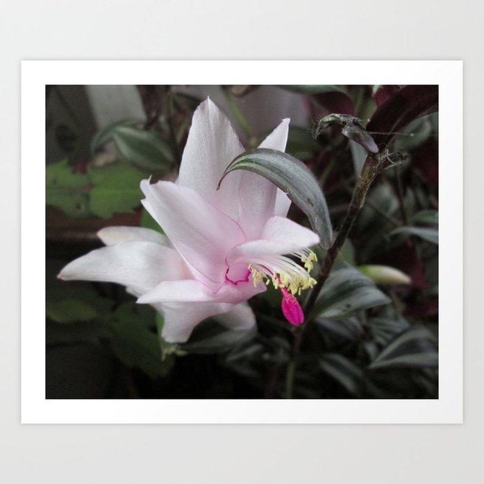 Christmas Cactus Bloom.Pink Christmas Cactus Bloom Art Print
