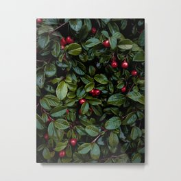 Christmas Cotoneaster Metal Print