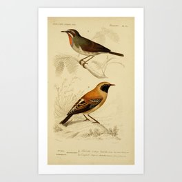 D'Orbigny - Universal Dictionary of Natural History; Birds (1849): 35 Rubythroat; Wheateater Art Print