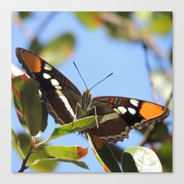 California Sister Butterfly on Oak Leaves Canvas Print