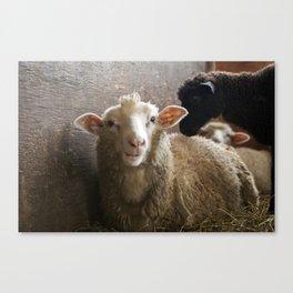 Cute Smiling Sheep Photo Canvas Print