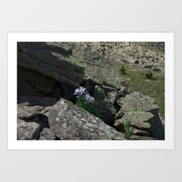 Columbines on a Rock Slide Art Print