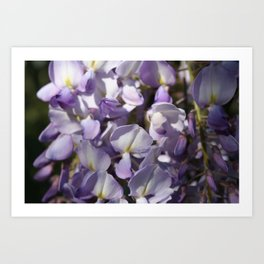 Close Up Of Lavender Wisteria Blossom Art Print